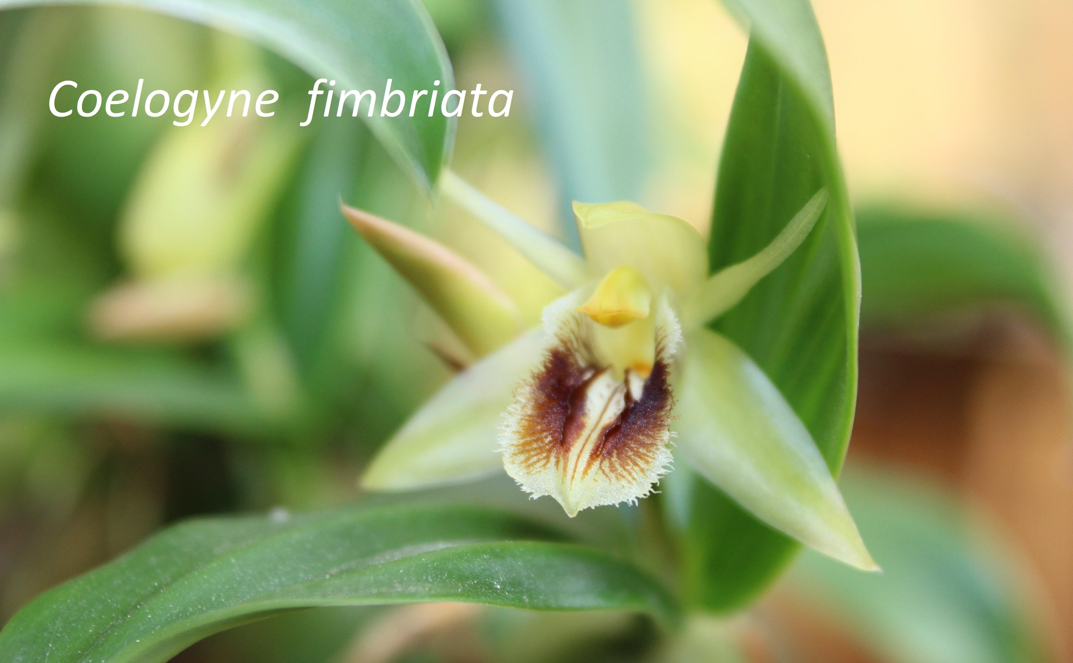 Coelogyne fimbriata 171031104324796171