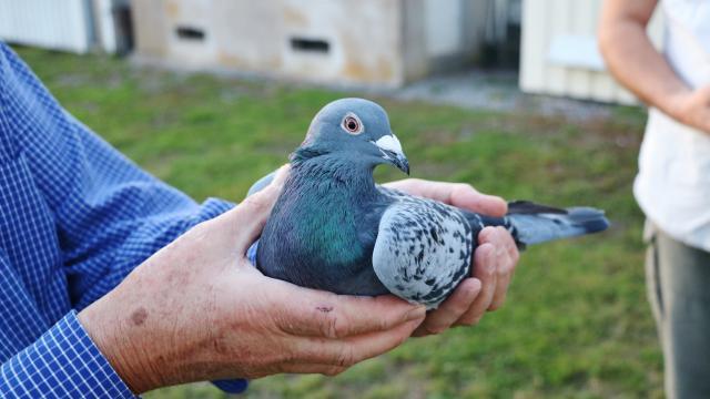 les-herbiers-pigeons-voyageurs-droles-d-oiseaux-dans-le-bocage_0