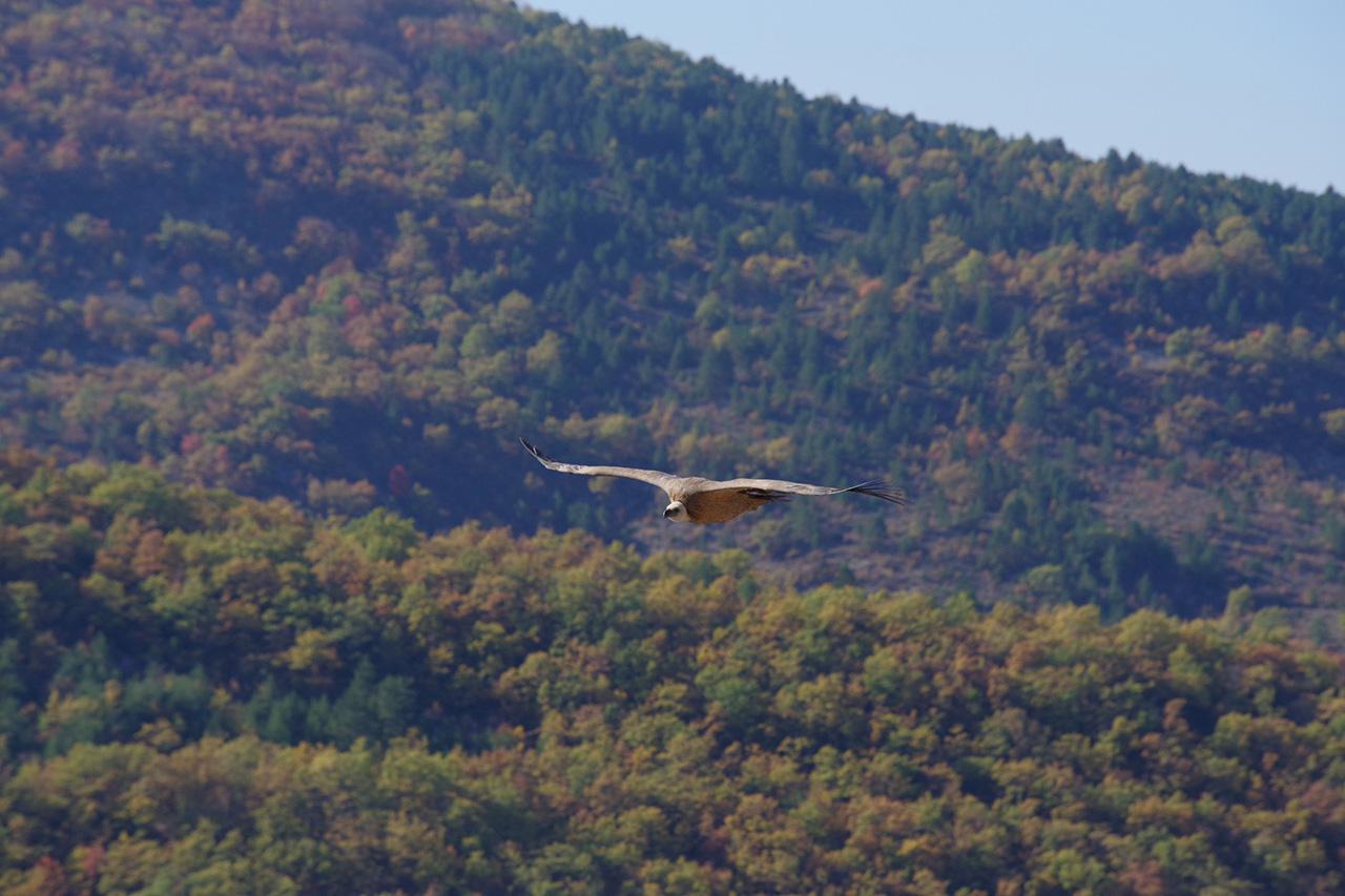 Les vautours de St May en Drome Provencale 171101091510173759
