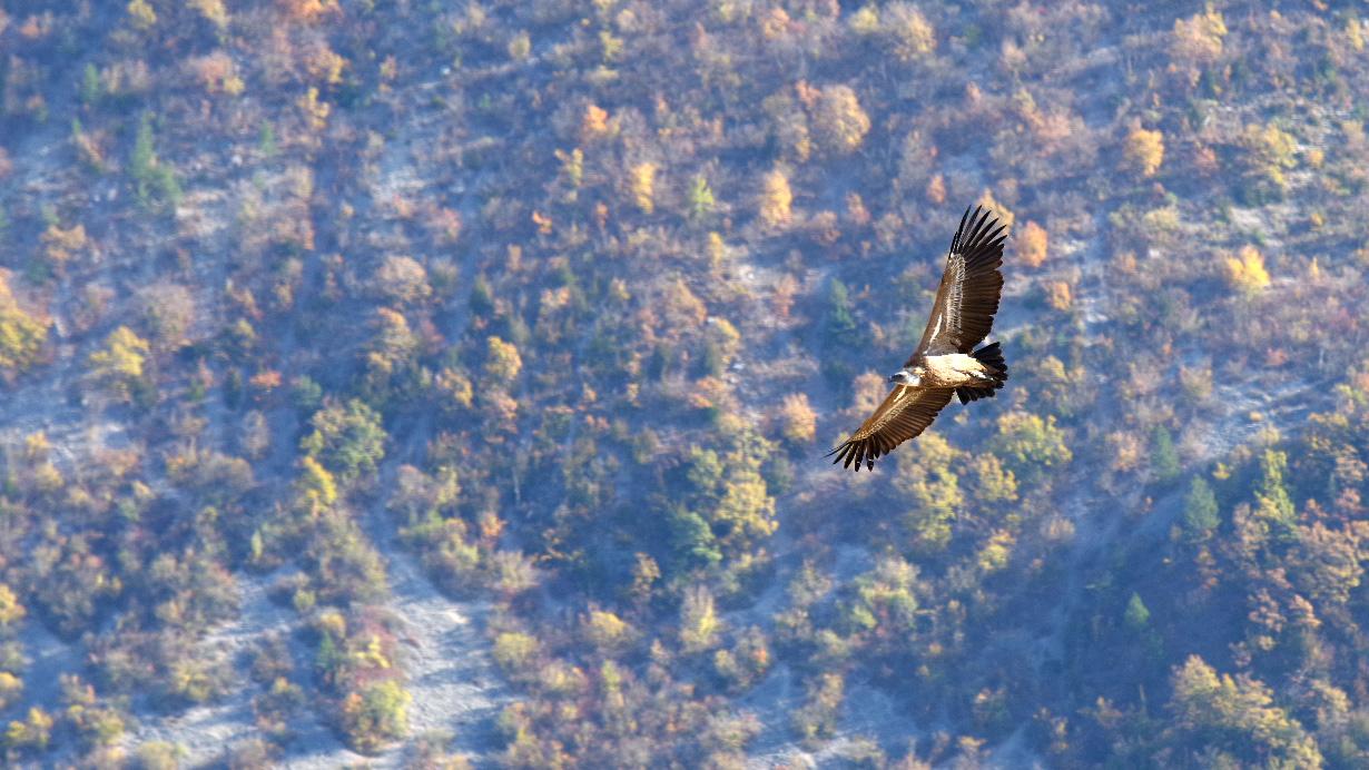 Les vautours de St May en Drome Provencale 171101091516455738