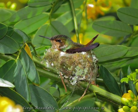 Colibri sur son nid