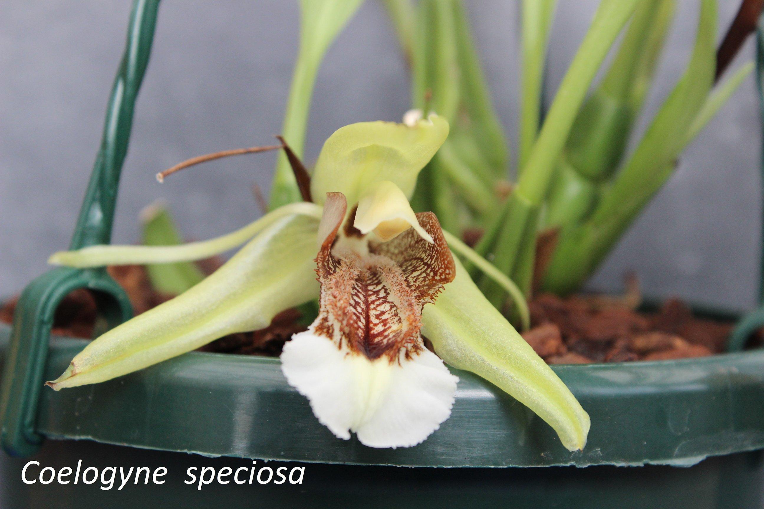 coelogyne speciosa 171117124909453736