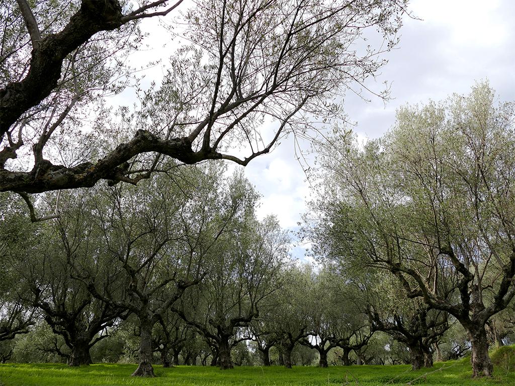 La balade des oliviers 171203112151304232