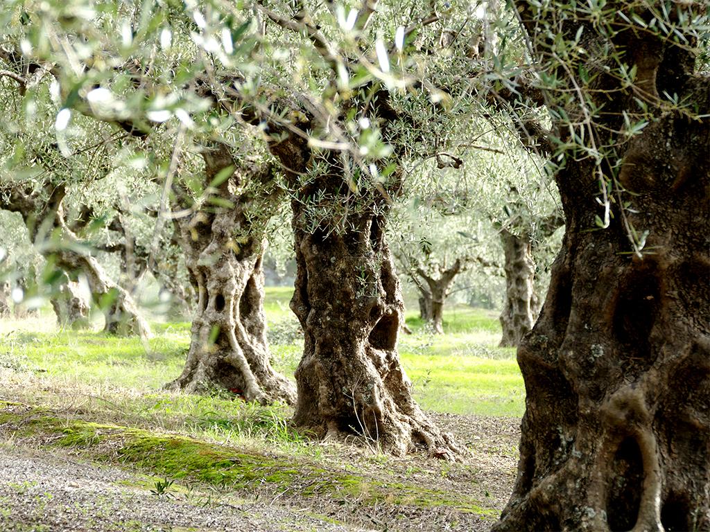 La balade des oliviers 171203112203537792