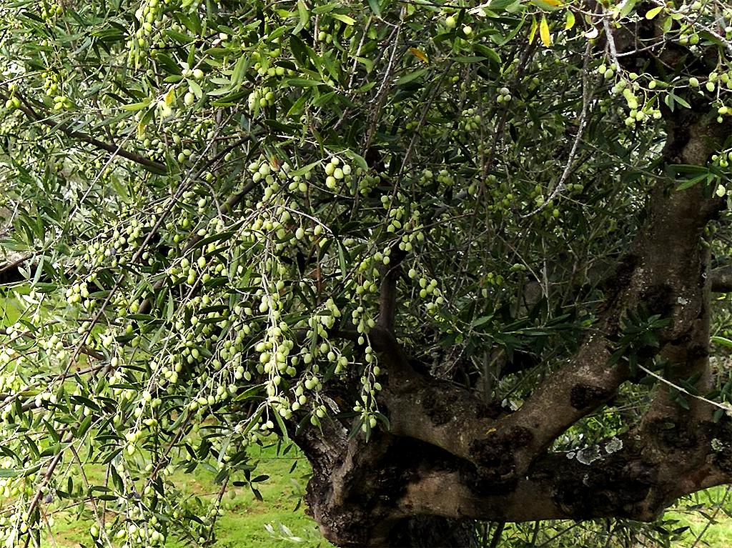 La balade des oliviers 171203112212278295
