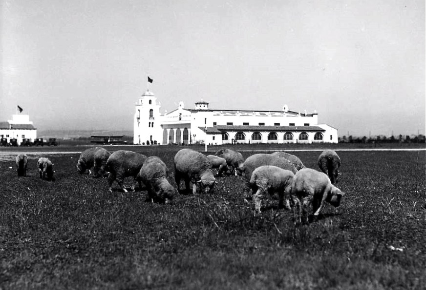 Sheep-graze-near-the-terminal-of-the-Los-Angeles-Municipal-Airport-then-known-as-Mines-Field-1930