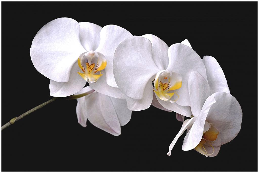 Branche d'orchidée 180119043603661123