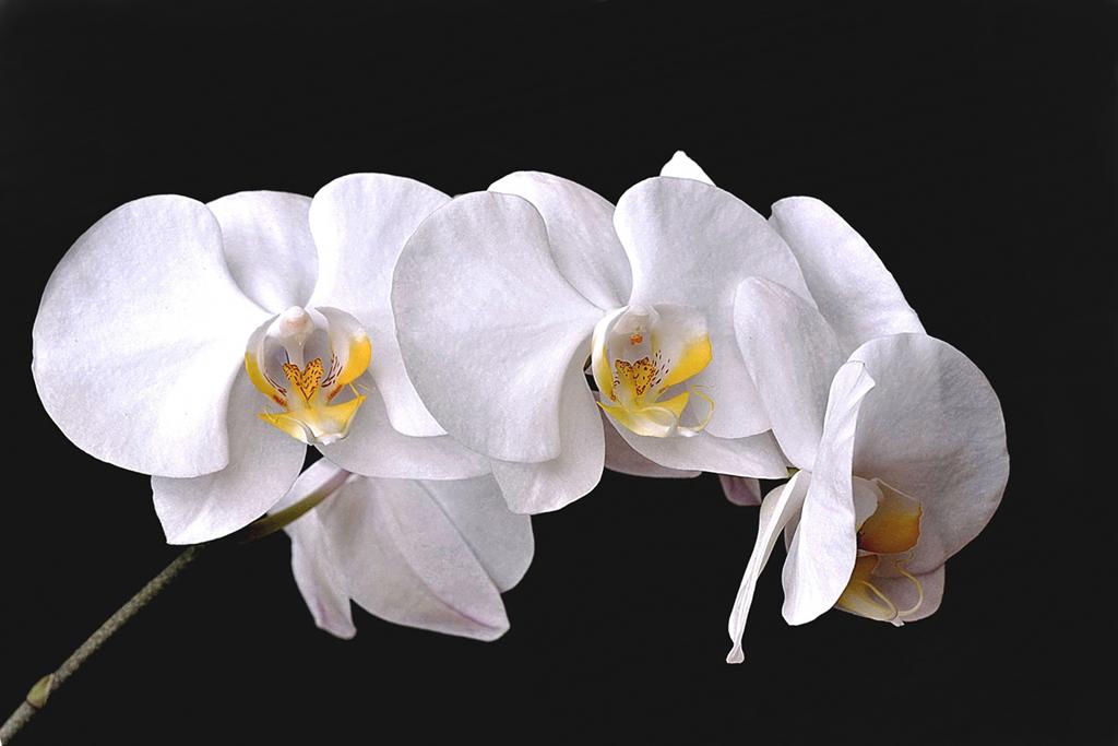 Branche d'orchidée 180120034532186237