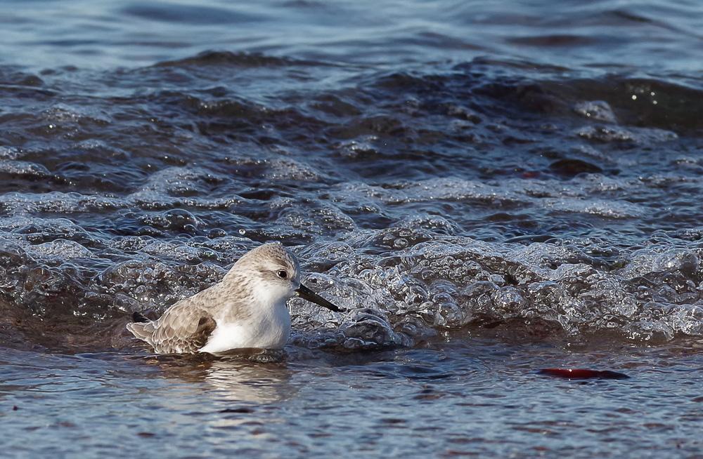 Be�casseau sanderling au bain
