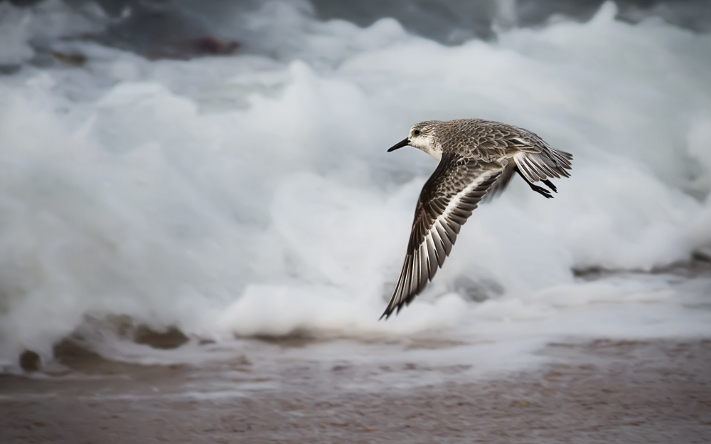 Sanderling en vol
