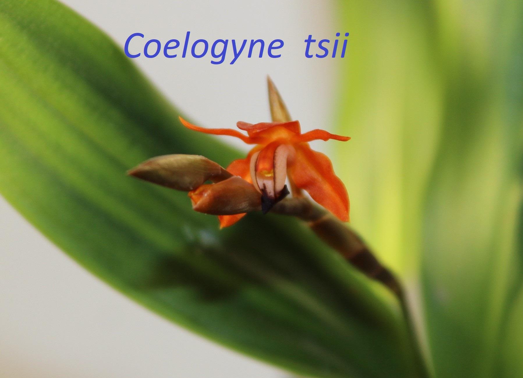 Coelogyne  tsii 1802080411487433