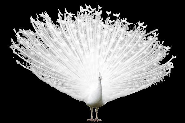 un paon pour noel blanc