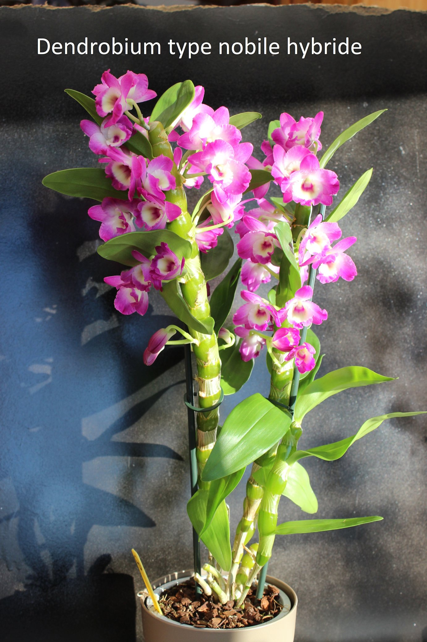 Dendrobium tupe nobile hybride.  180307070842791499