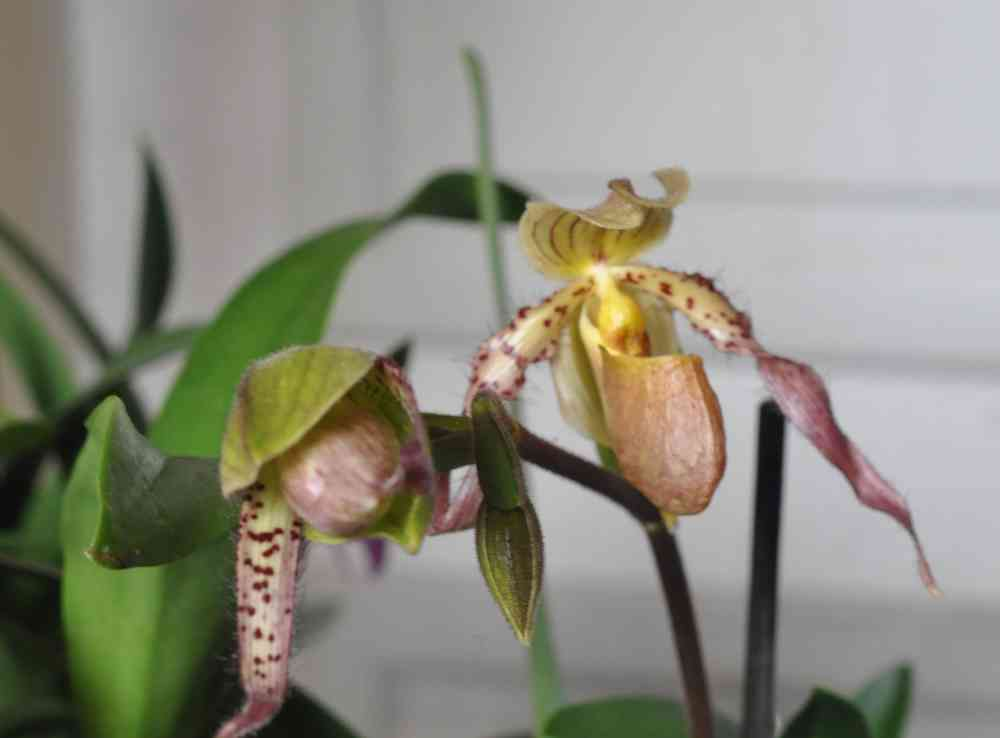 Paphiopedilum Philippinensis x Paphiopedilum primitinum 180318093601312920