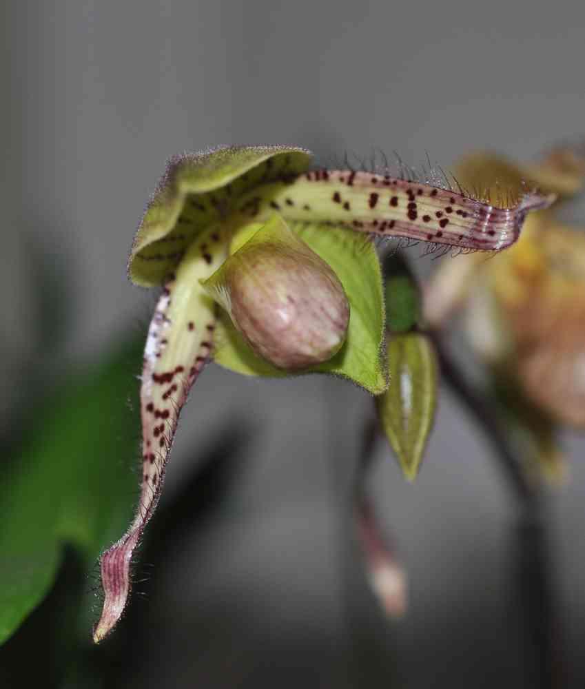 Paphiopedilum Philippinensis x Paphiopedilum primitinum 180318093601473896