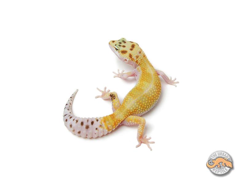 De quelle phase et mon gecko léopard  180408070756534227