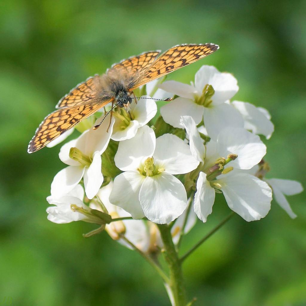 L'argus et autres papillons  mise a jour du 04.04.2019 ( camaroney ) - Page 13 180420071141776395