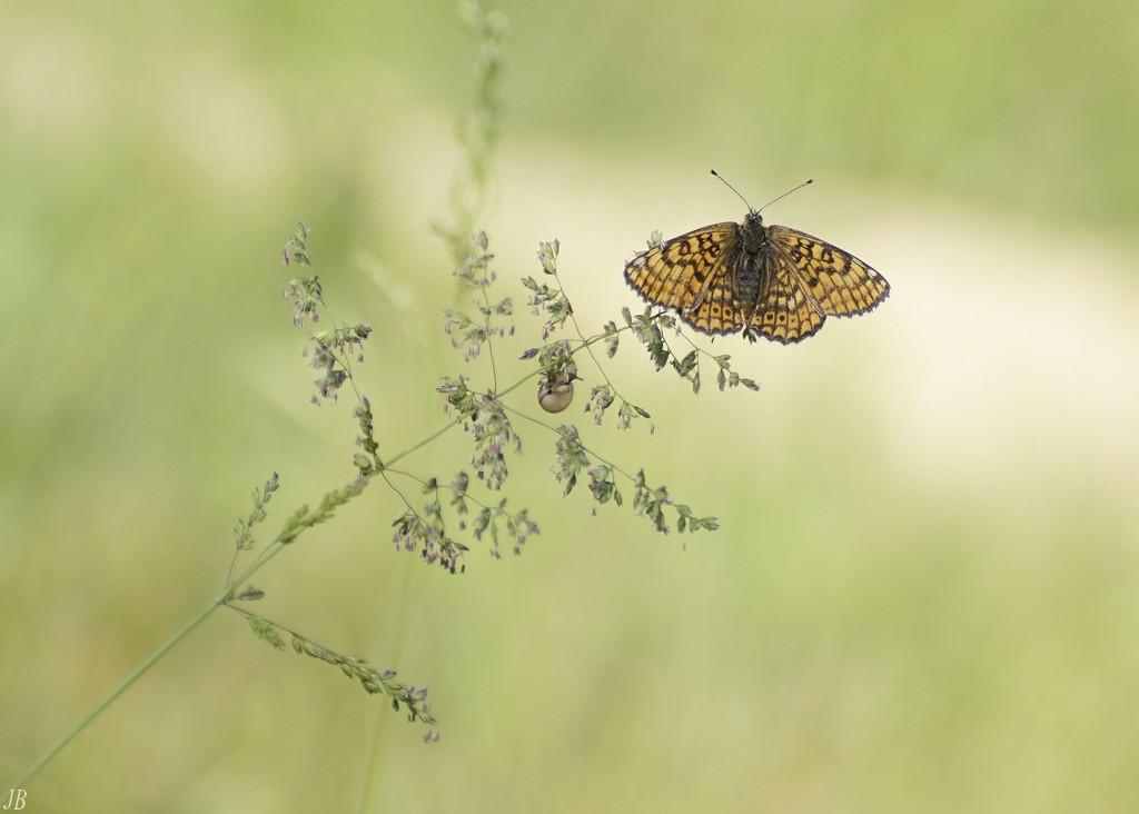 L'argus et autres papillons  mise a jour du 04.04.2019 ( camaroney ) - Page 13 180508120232445728