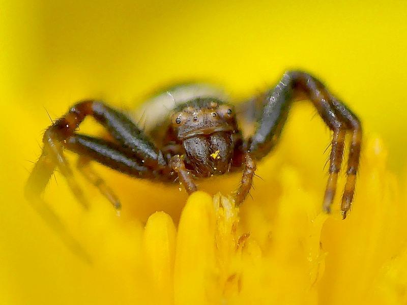Araignée (101d)