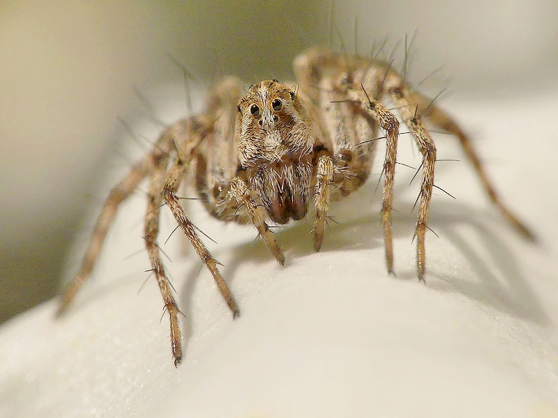 Araignée (17)