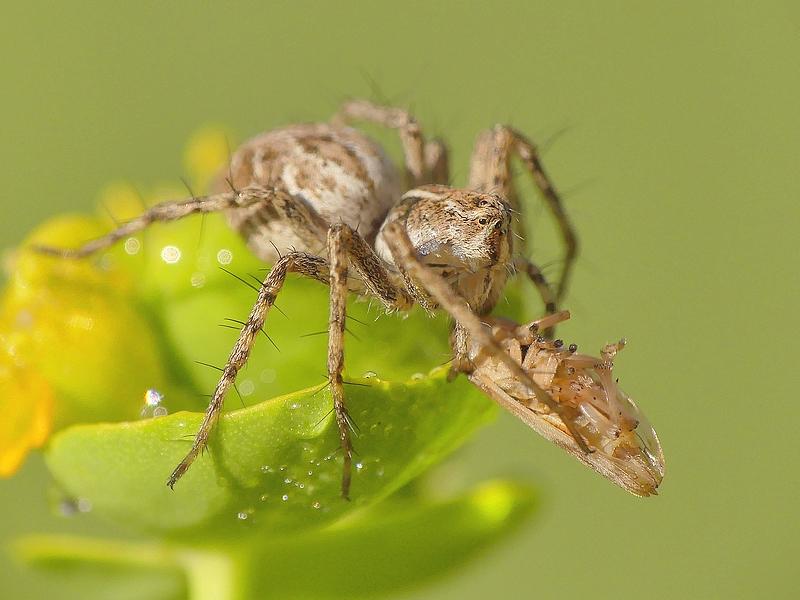 Araignée (247)