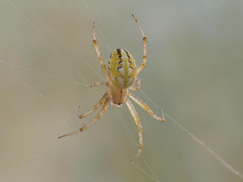 Araignée (716)