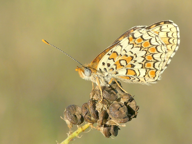 Papillon (1510)