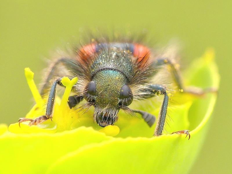 Clairon des abeilles (64)