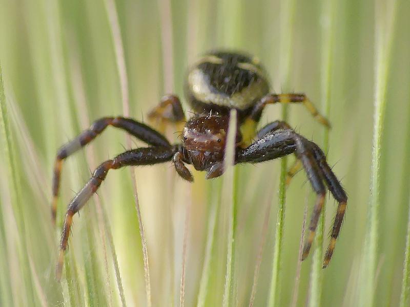 Araignée (58)