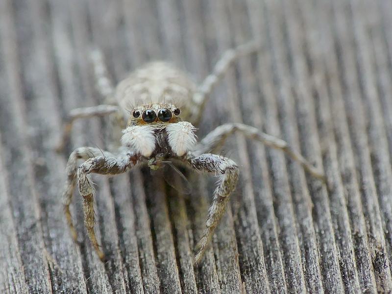 Araignée (55d)