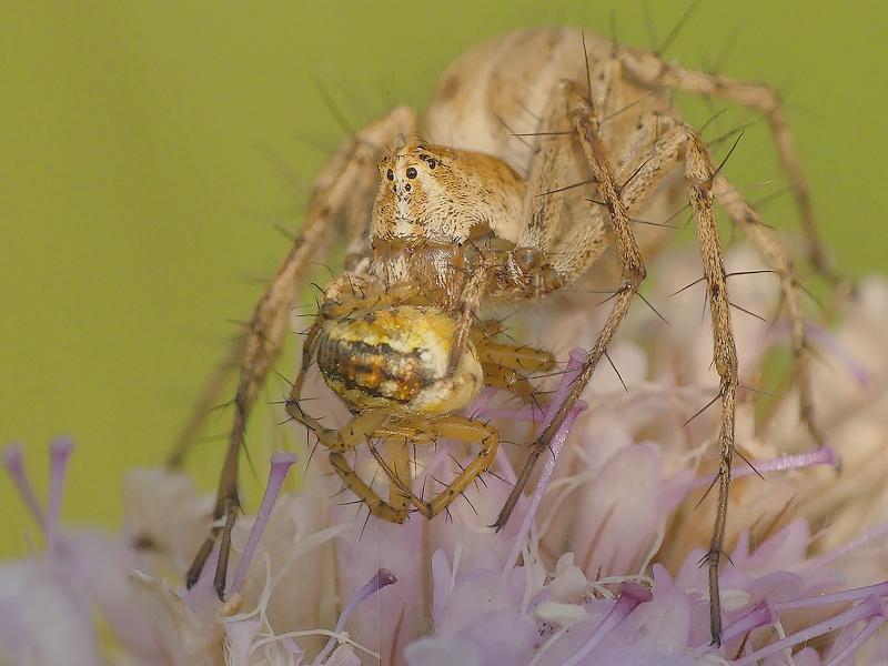 Araignée (598d)