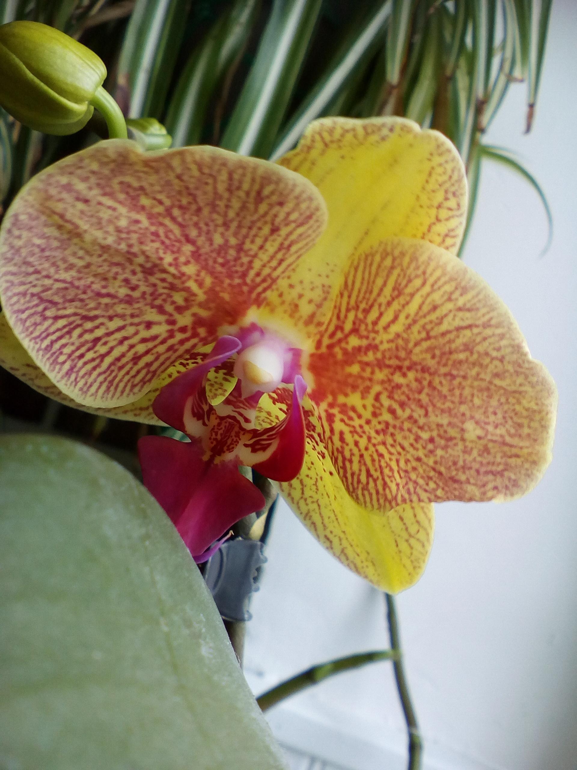 Phalaenopsis hybrides - Page 2 180609100612772472