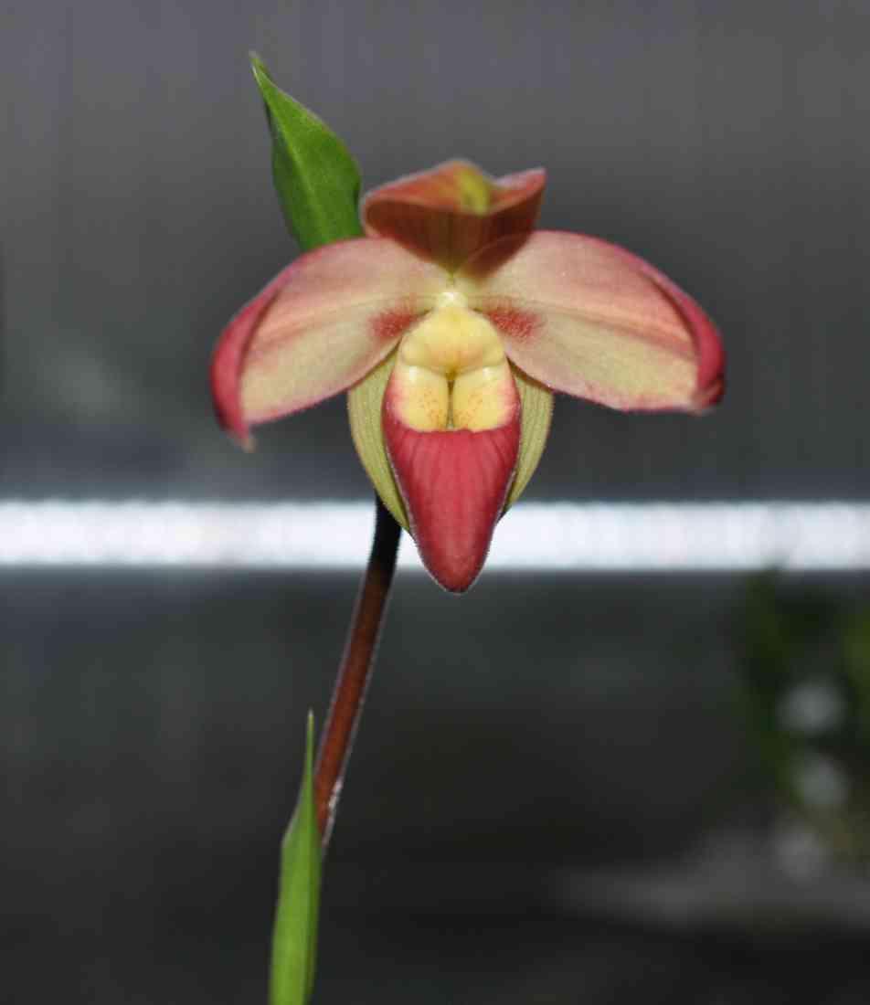 Phragmipedium besseae 180610092302995085