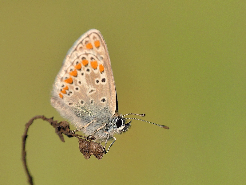 Papillon (8)