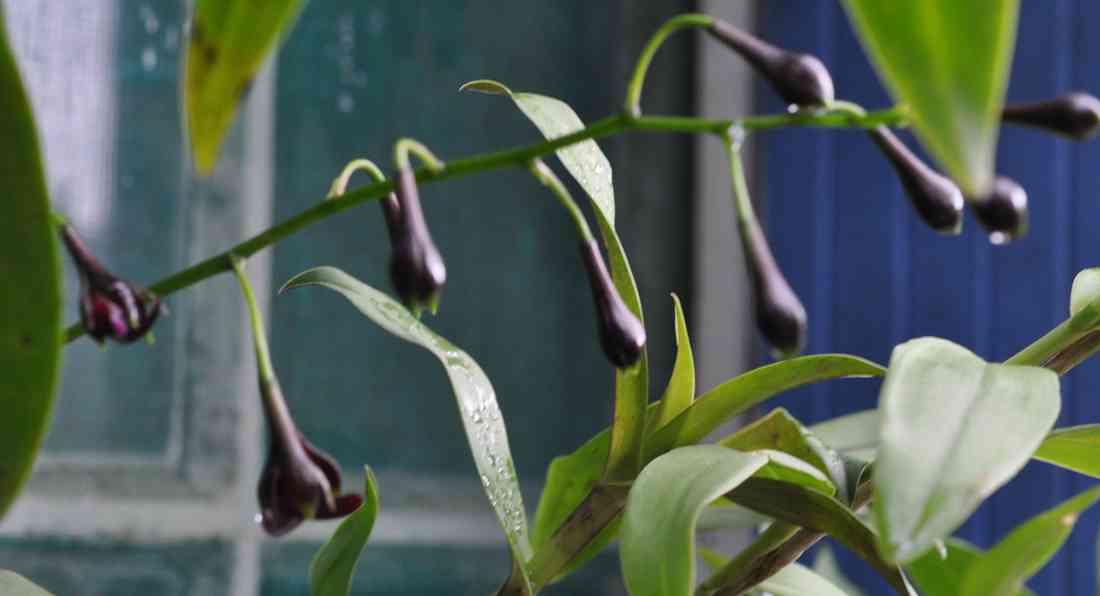 Epidendrum melanoporphyreum 180621065814981602