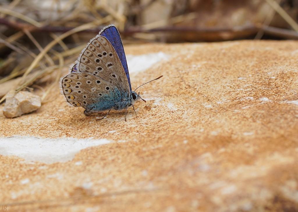 L'argus et autres papillons  mise a jour du 04.04.2019 ( camaroney ) - Page 14 18062405290613780