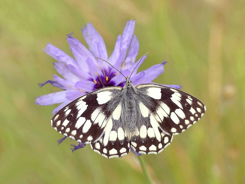 Papillon (17)