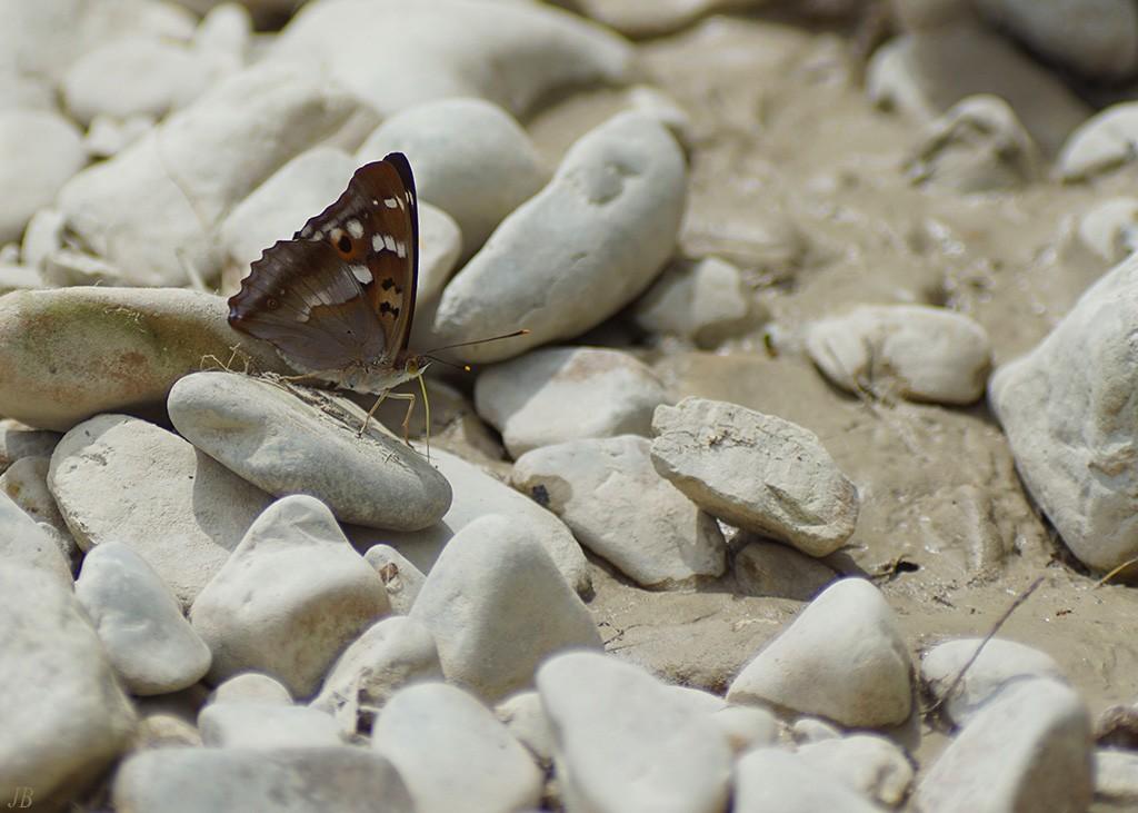 L'argus et autres papillons  mise a jour du 04.04.2019 ( camaroney ) - Page 14 180625072134443181