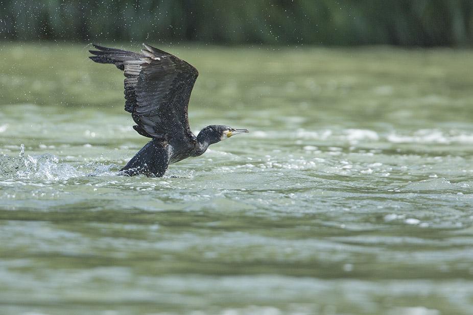 Grand cormoran 180625084311629851