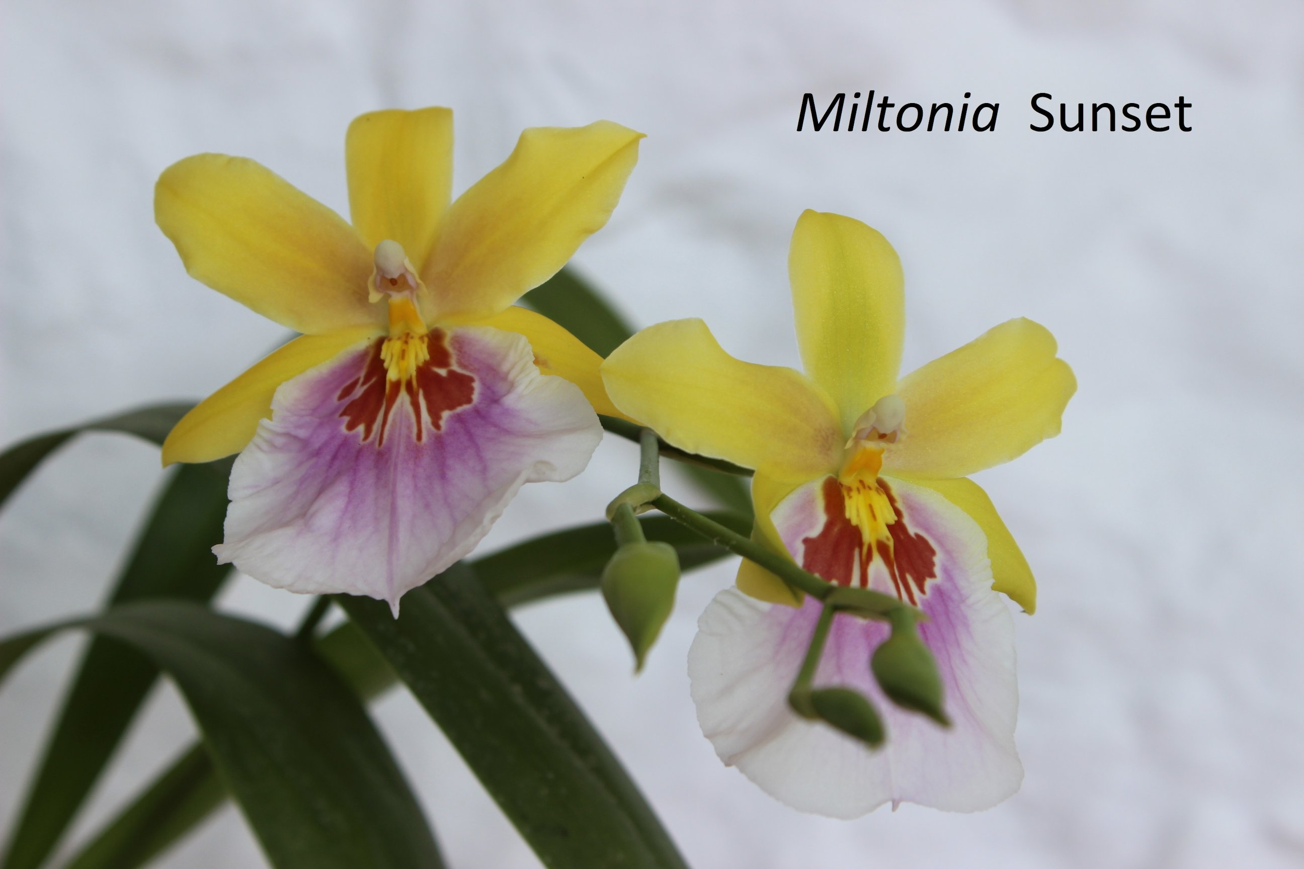 Miltonia Sunset 180720110534501537