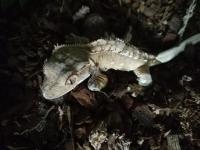 Problème de mue geckos a Crête Mini_180724121504716584
