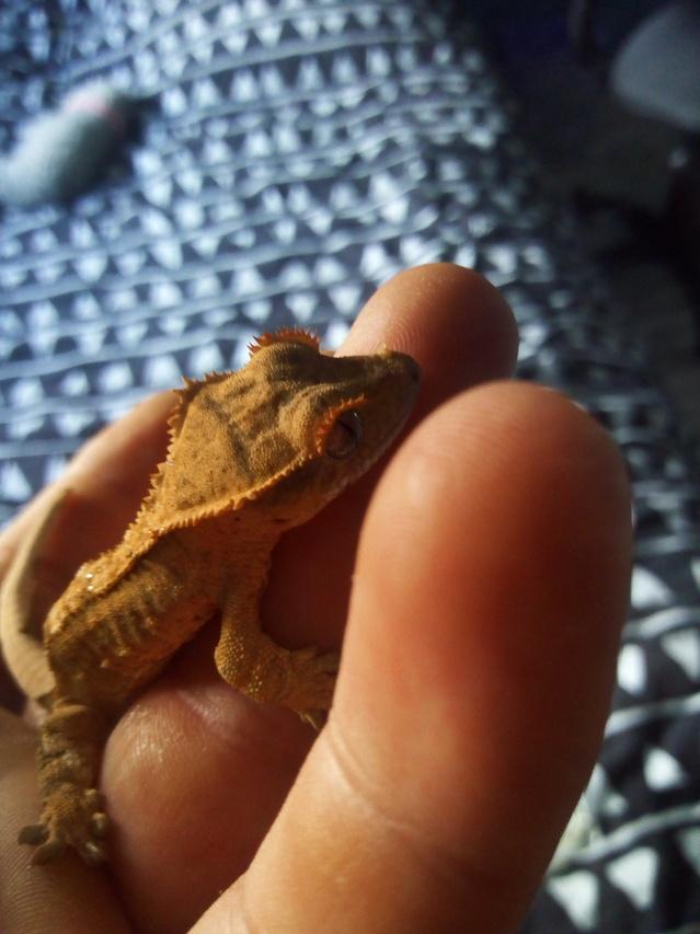 Problème de mue geckos a Crête 18073008004931288