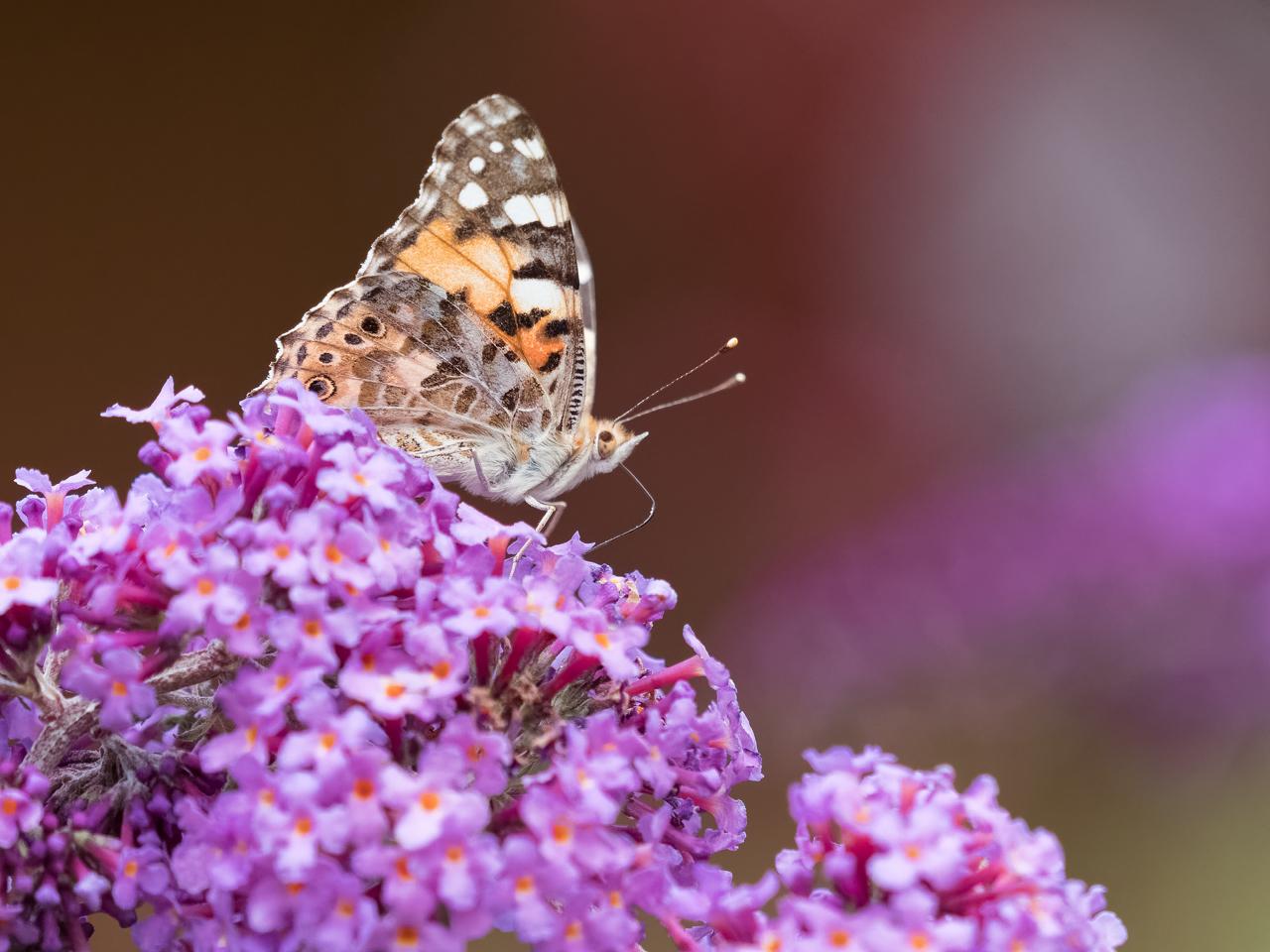 Papillon (je n'y connais rien...) 18080704380372655