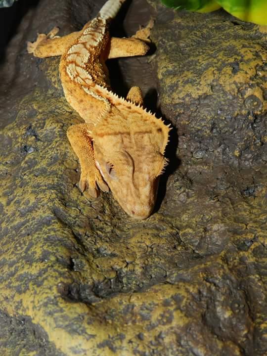 Mon Correlophus Ciliatus 18090506272894932