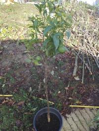 Citrus reticulata 'Loretina' Mini_18092410171326365