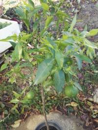 Citrus reticulata 'Loretina' Mini_18092410171481368