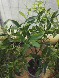 Citrus reticulata 'Loretina' Mini_180924101715552314