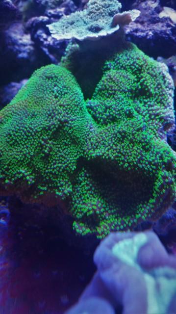 quelques photos de mes  coraux  181006105006832450