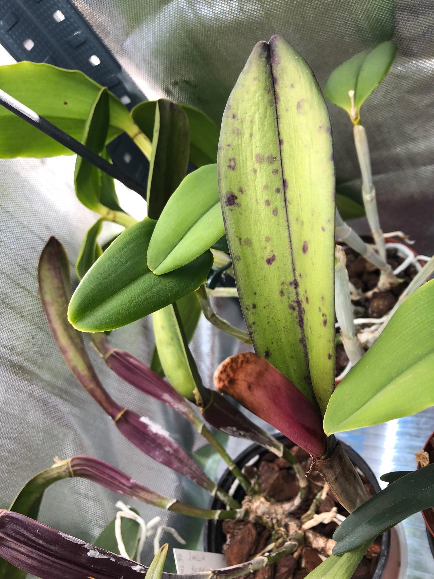 Cattleya perrinii 181014020538738128