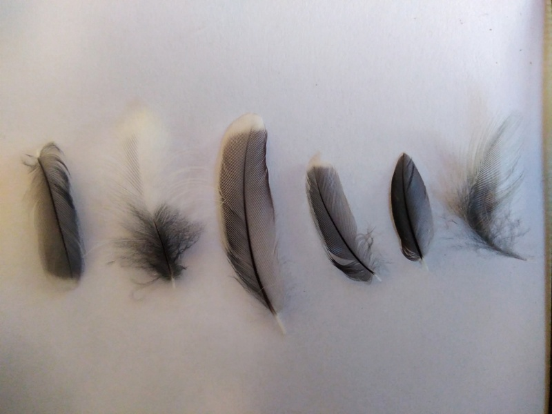 Petites et grandes plumes 181030013846251545